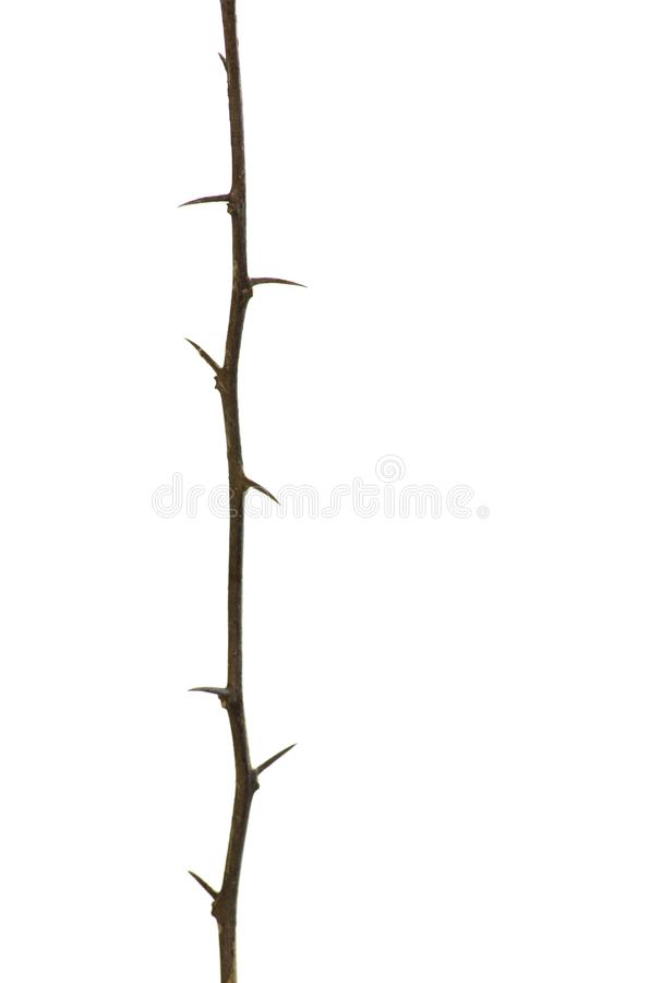 Single Brown twig tree with thorn isolated on white background in vertical. stock photo