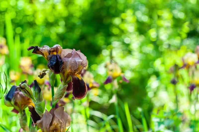 Single brown-yellow sharp closeup iris flower on blurry green garden background with placeholder royalty free stock images