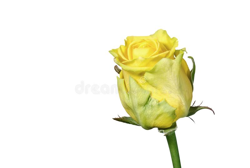 Single bud of yellow rose closeup royalty free stock image
