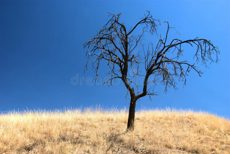 Single burnt tree in a dry landscape. Against a clear blue sky. The tree is standing in a field with dry grass royalty free stock image