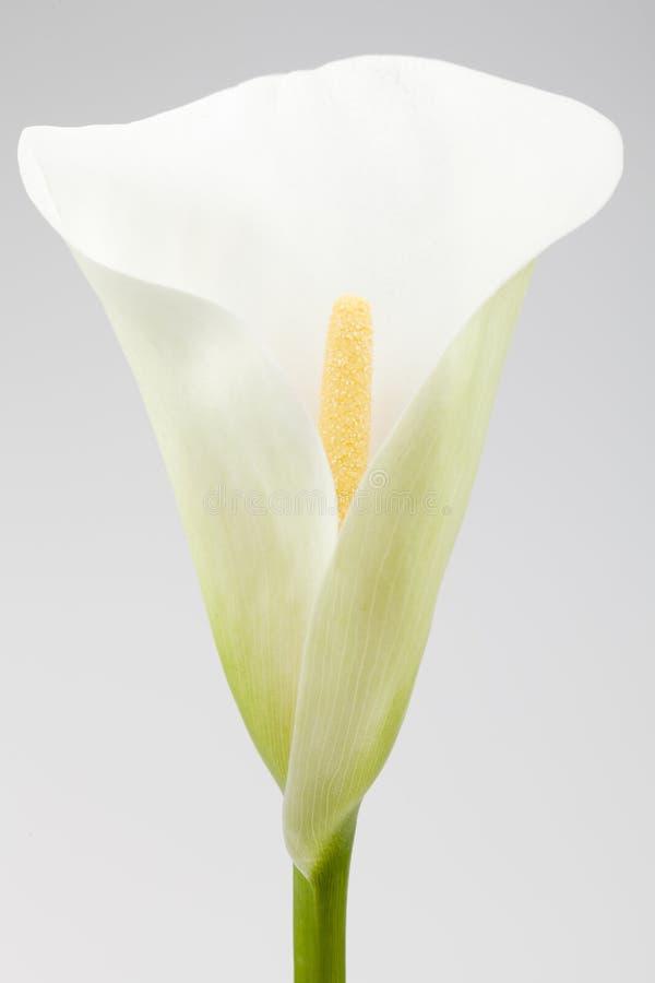 Download Single calla lily stock photo. Image of calla, stem, yellow - 30982718