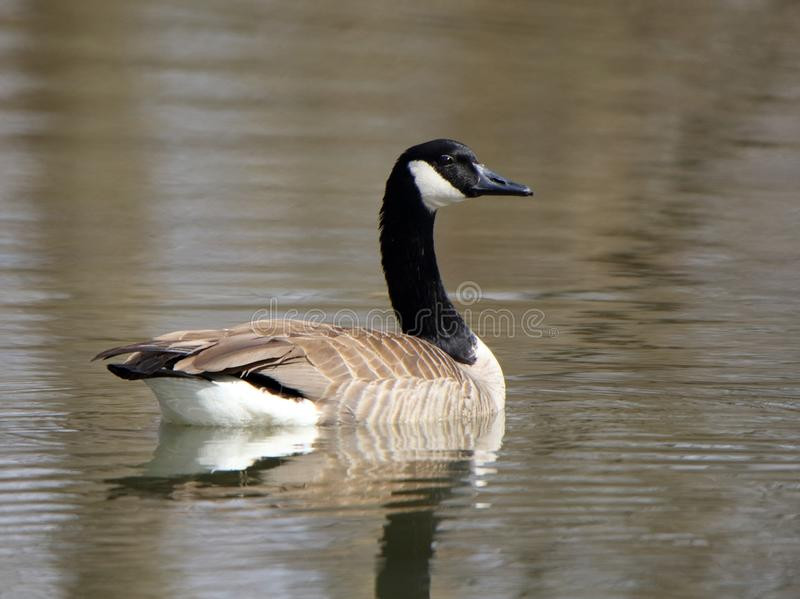 Single Canada Goose floating on still water with a reflection stock photography