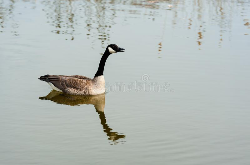Single Canada Goose on pond. royalty free stock image