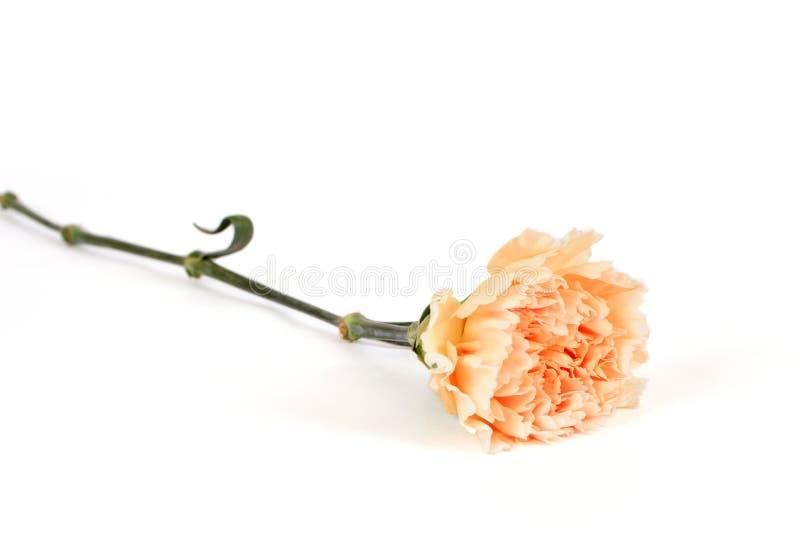 Single Carnation Royalty Free Stock Photos