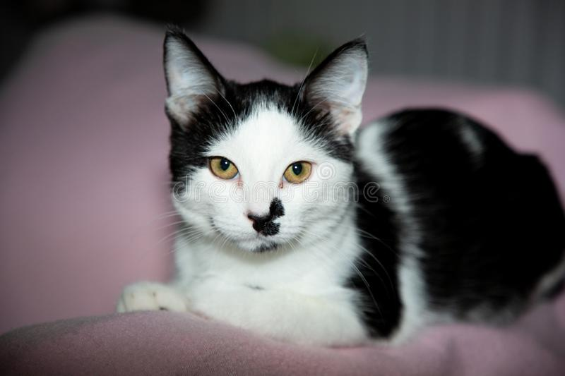 Single cat at home black and white lying on pink sofa. A single cat at home black and white lying on pink sofa royalty free stock images
