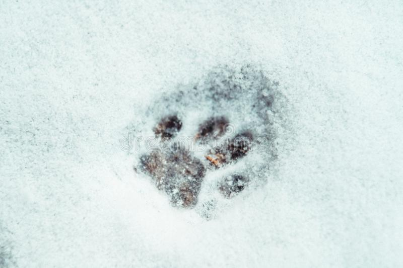 Single cat paw print in the snow outlined. Single cat paw print outlined well in the snow with small flakes inside royalty free stock image