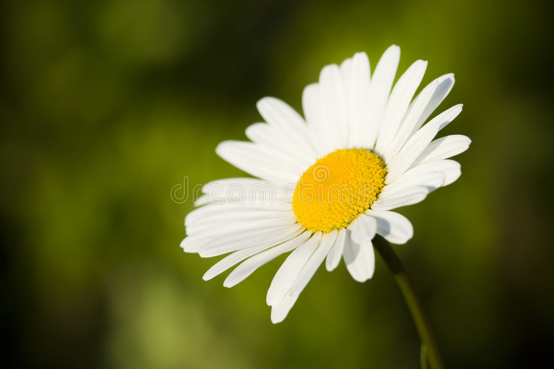 Download Single chamomile stock photo. Image of green, plant, sunlight - 5388442