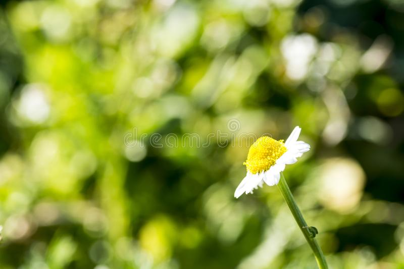 Single chamomile flower in a meadow stock photography