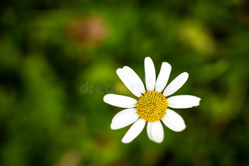 Single chamomile Matricaria. stock photography