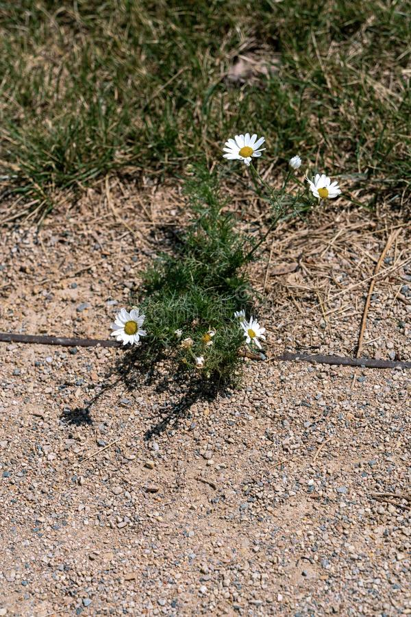 Single chamomile plant surviving in a parched surrounding stock photography