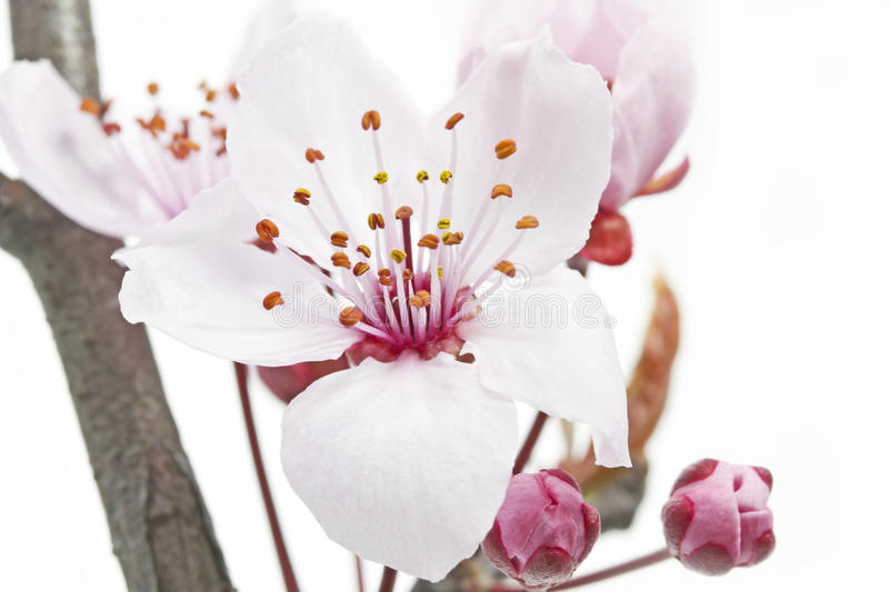 Single cherry plum bossom. Cherry Plum or Myrobalan Blossoms on white background stock photo