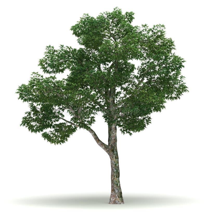 Single Chinar Tree. Single Platanus Tree ( white background stock illustration