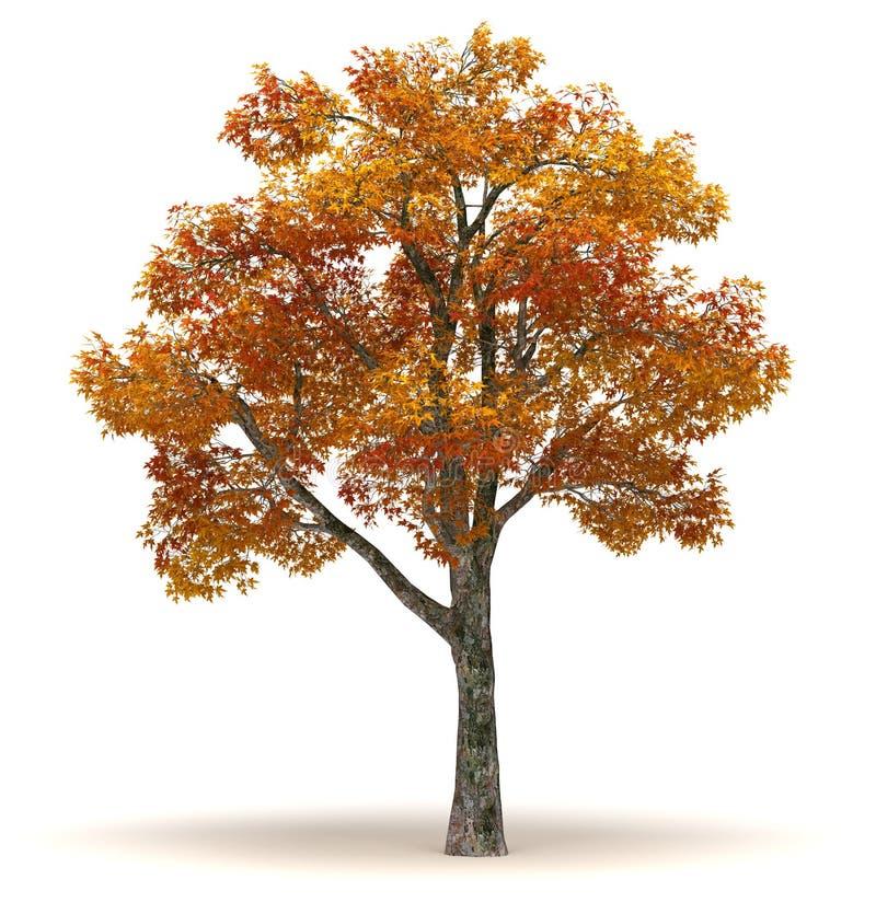Single Chinar Tree. Single Platanus Tree ( white background vector illustration