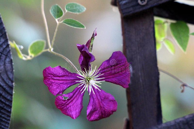 Single Clematis or Leather flower dark purple easy care perennial vine flower with leathery petals and bright yellow center. Growing between wooden fence on stock photography