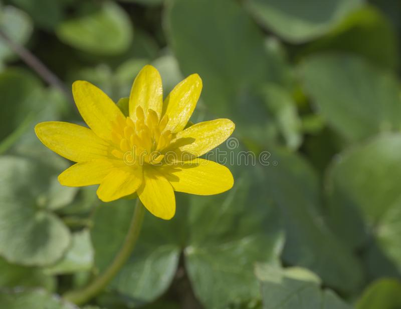 Single close up yellow marsh marigold spring flower selective fo stock images