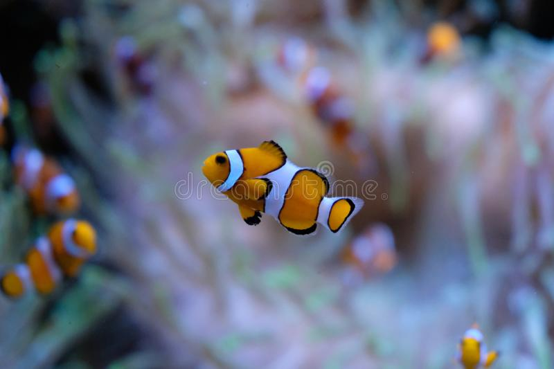 Single clownfish with white anemones on background royalty free stock photo