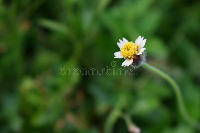 Single coat button flower with hairs. Single inflorescence of coat button is appearing with hairy cover and four white petals. These white petals are appeared as stock photo