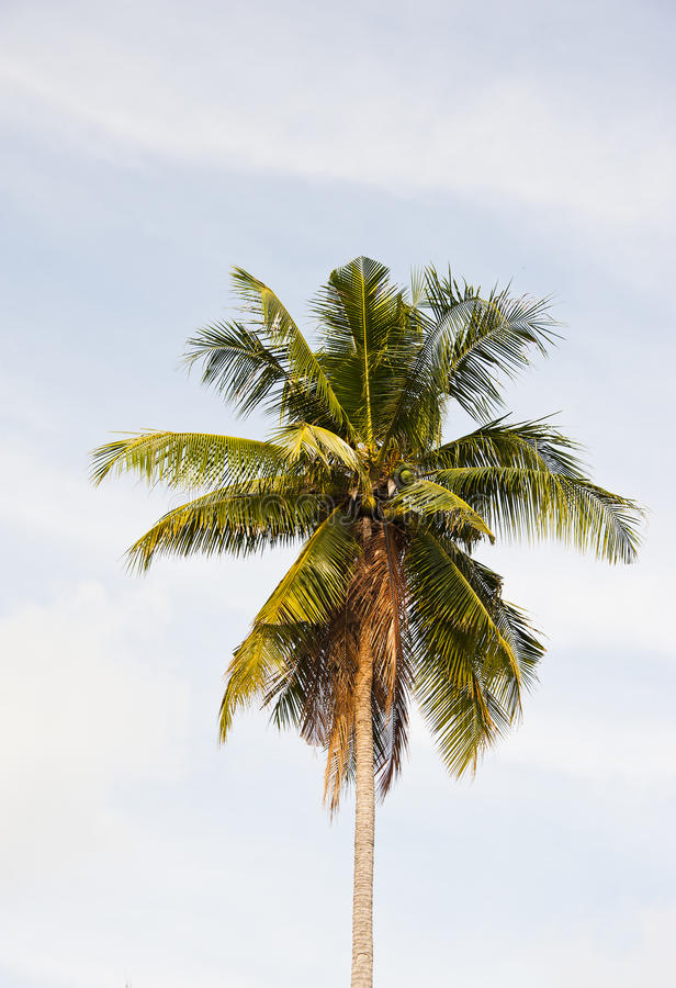 Download Single coconut stock photo. Image of coconut, holiday - 24729758