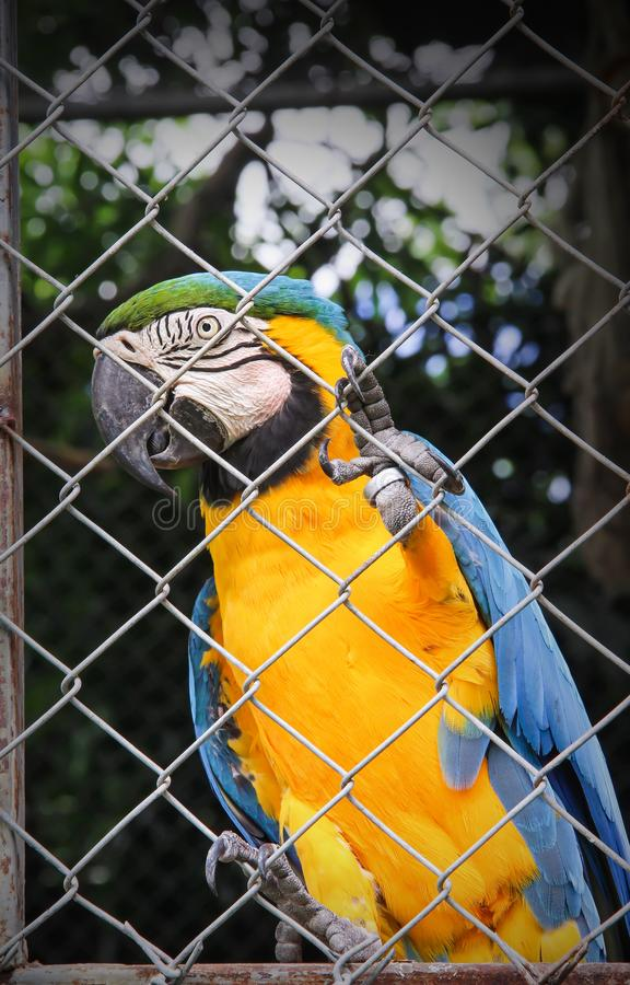 Single colorful blue and yellow macaw or ara chloropterus clings in steel cage. Close up Single colorful blue and yellow macaw or ara chloropterus clings in stock photo