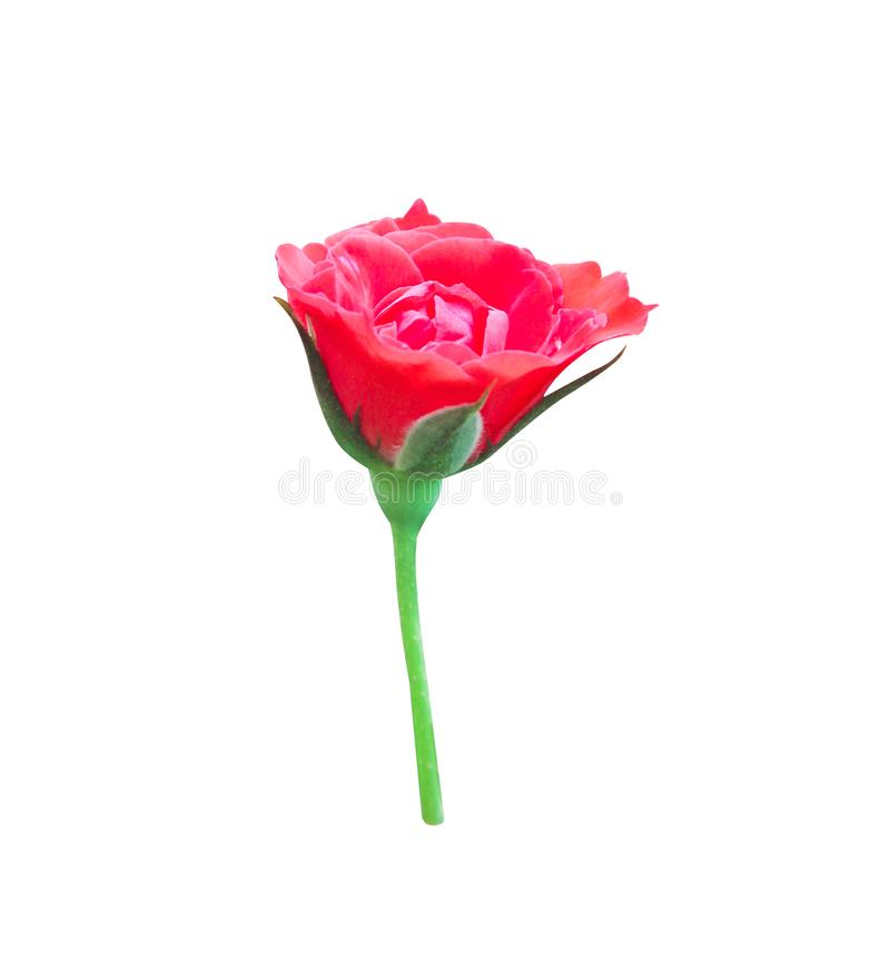 Single colorful bud red rose begins to blooming with green leaves and stem isolated on white background , ornamental nature. Close up Single colorful bud red royalty free stock photography