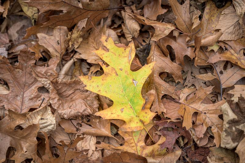 Single colorful leaf lying on a bed of brown, dry leaves royalty free stock photo