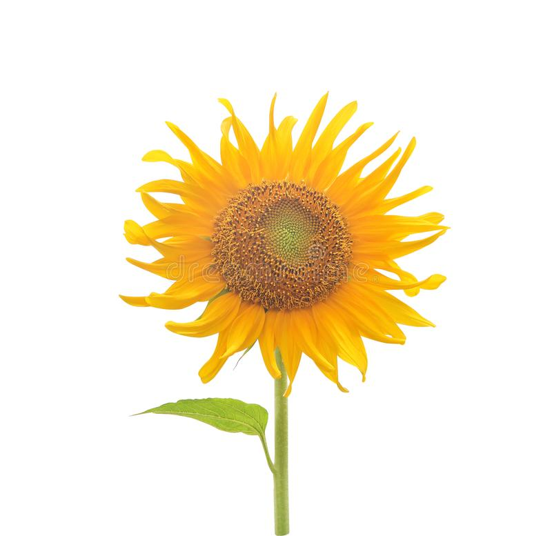 Single colorful yellow sunflowers blooming isolated on white background ,clipping path royalty free stock photography