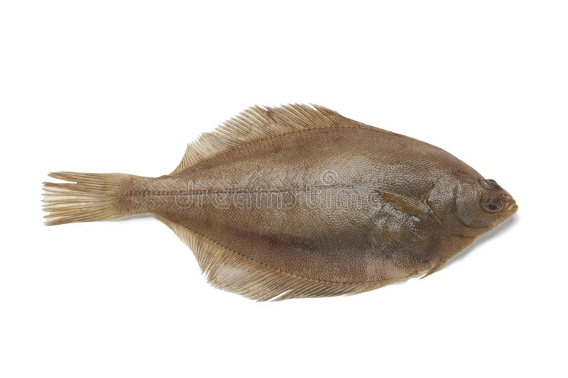 Common dab fish. Single Common dab fish on white background royalty free stock images