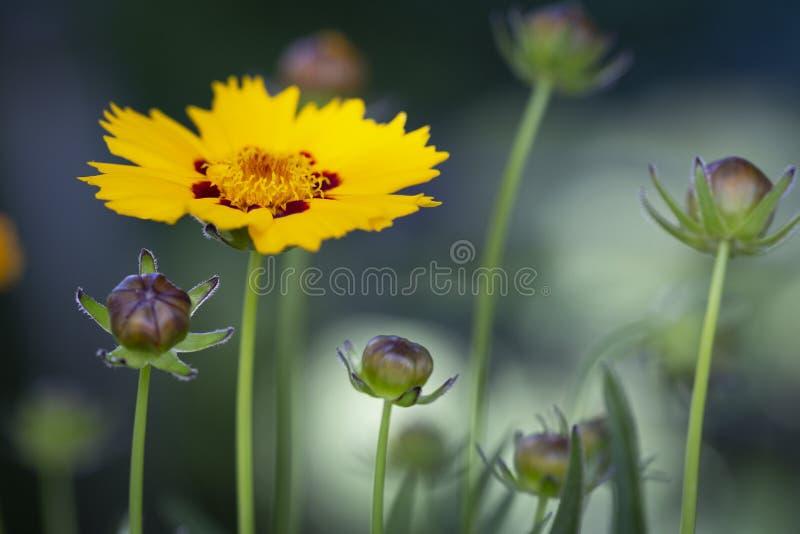 Coreopsis lanceolata flower royalty free stock image