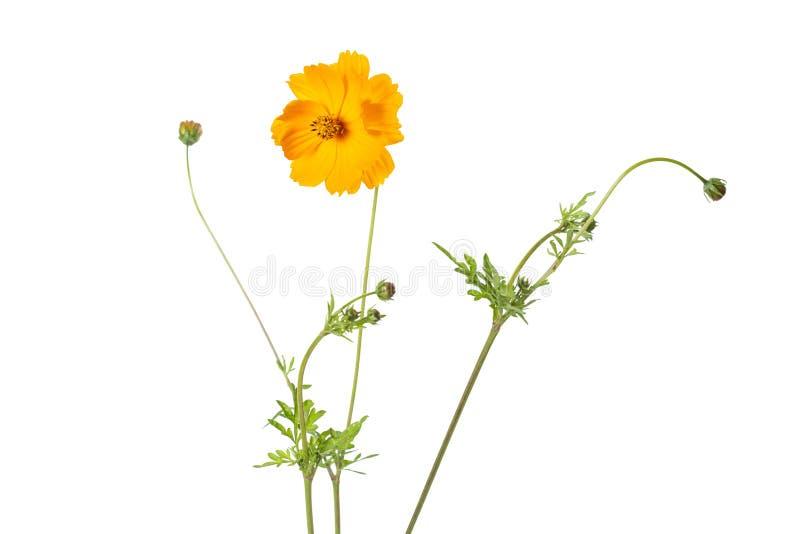 Single Coreopsis lanceolata flower on white stock photo