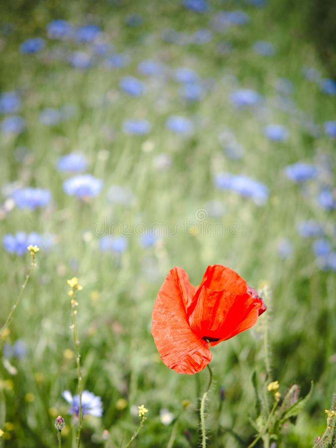 Single corn poppy in a flower field. Corn poppy close-up with blue flowers and wheat in background, red, field, green, summer, bloom, blossom, nature, garden royalty free stock photos