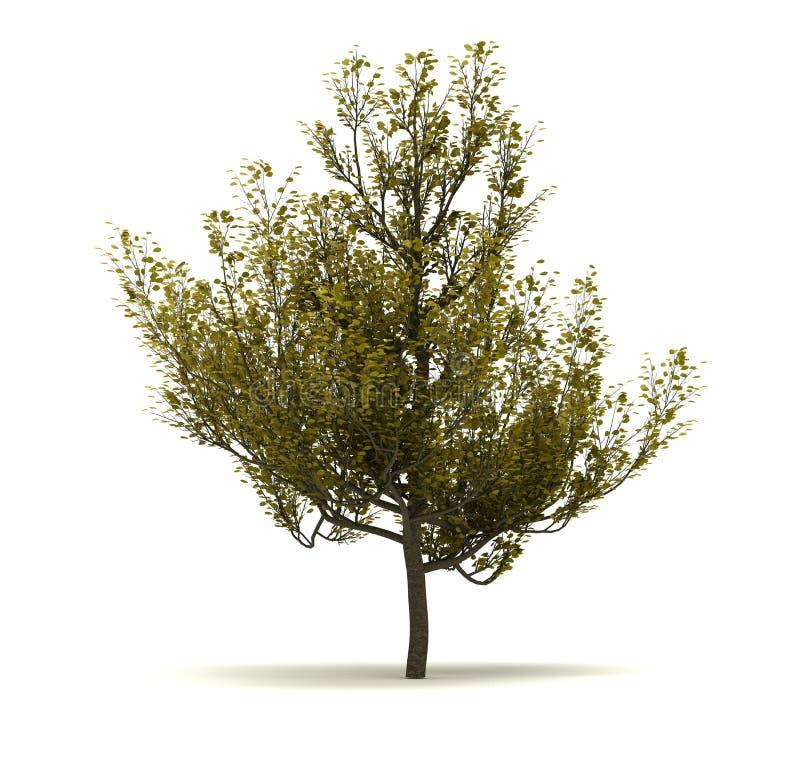 Single Cornus Mas Tree. Isolated on white background vector illustration