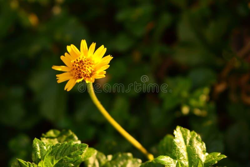 Single creeping daisy flower. Closeup of single creeping daisy flower blooming in garden on sunshine day, selective focus stock photos