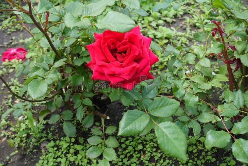 Single crimson flower of garden rose. Single crimson flower of common garden rose royalty free stock images