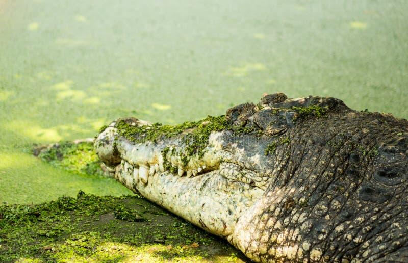 Single crocodile living nearly marsh. With duckweed royalty free stock photos