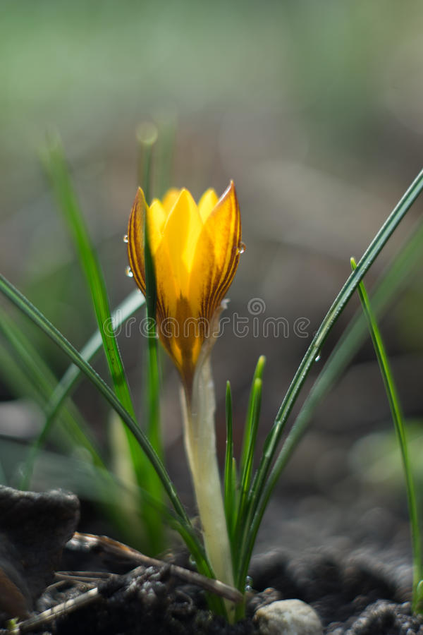 Single Crocus close up. Crocusses in the middle of winter, first sings of the approaching spring royalty free stock images