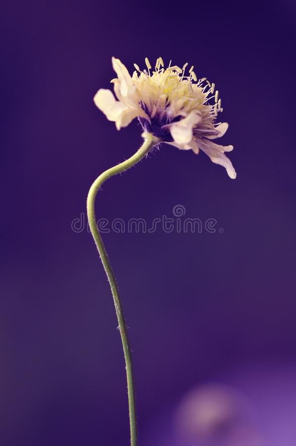 Single curved yellow flower on purple background. Single curved stalk yellow flower purple violet background macro close-up minimal outdoors stock image