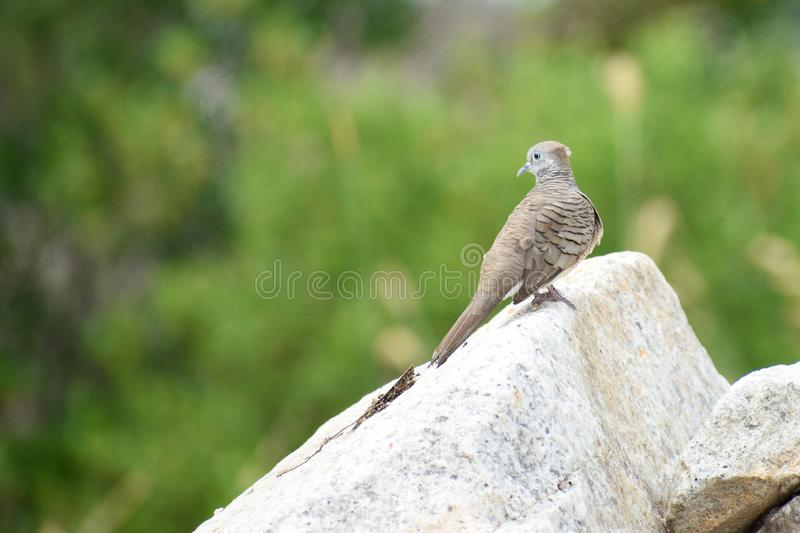 Dove-bird perched on rock. Single cute Dove-bird perched on rock at park stock photos