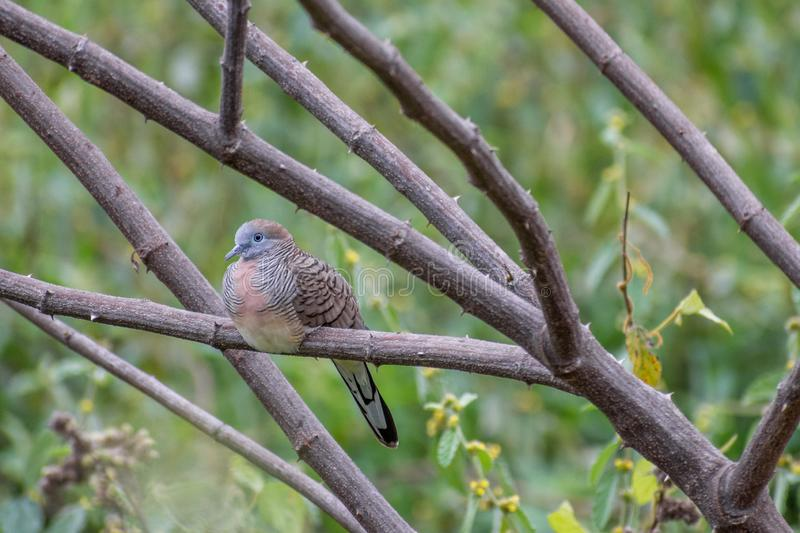 Dove-bird perched on branch. Single cute Dove-bird perched on tree trunk at park stock photo