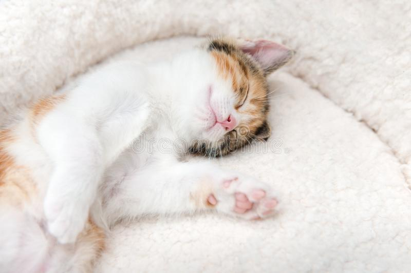 Very sleepy cute little kitten in a basket. Single cute tired little kitten sleeping in a furry basket royalty free stock photo
