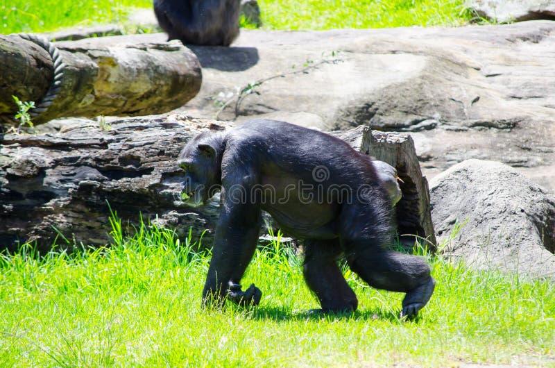 Single Cute chimpanzee monkey walking on green grass at a Zoo. A Single Cute young chimpanzee monkey walking on green grass at a Zoo royalty free stock photo