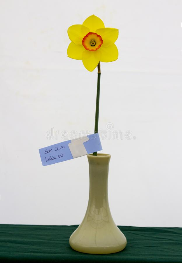 A single daffodil bloom on display in the Junior School section of the annual Spring Festival held in Barnett`s Demesne Belfast N stock image