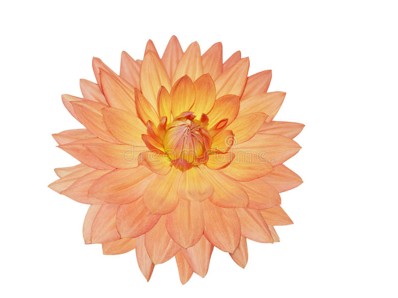 Single Dahlia Flower royalty free stock photography