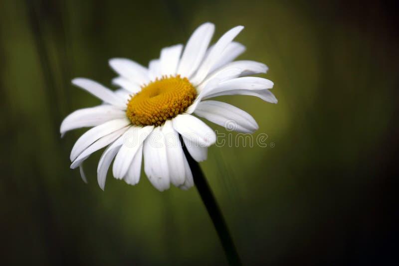 Single Daisy stock photos