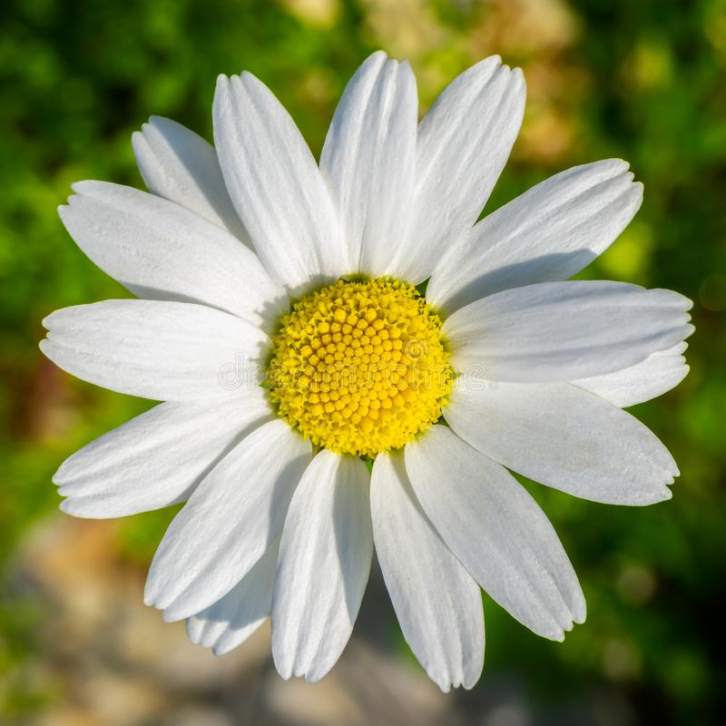 Single daisy chamomile on the grass. Amazing texture detail from nature royalty free stock image