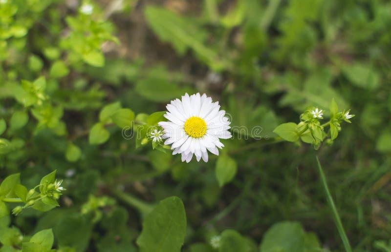Single daisy flower on grass field on sunny spring day.  royalty free stock photos