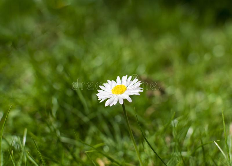 Single daisy flower on grass field on sunny spring day.  stock image
