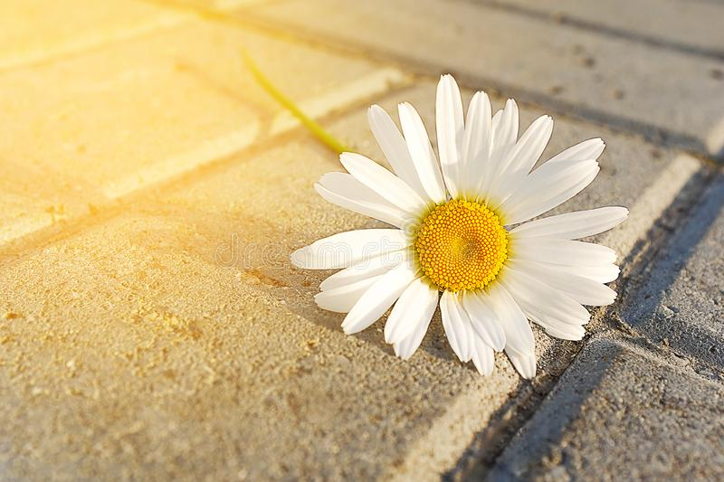 A single Daisy flower lies on the asphalt or sidewalk in the sunlight. Blurred focus stock photography
