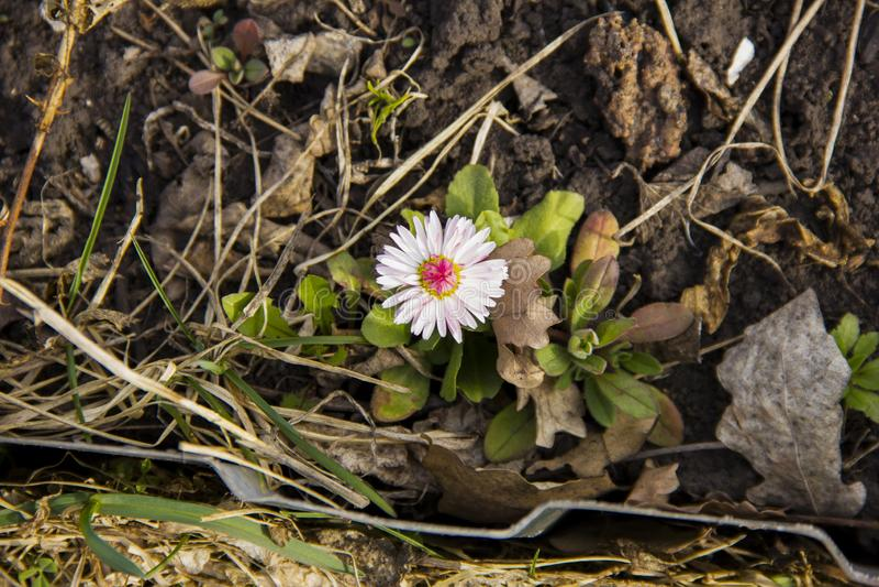 A single daisy grew in the grass in the garden. Flower stock photos