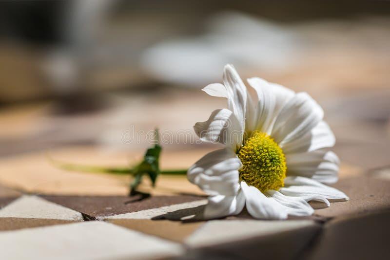 Single Daisy on a Tile Floor stock photography