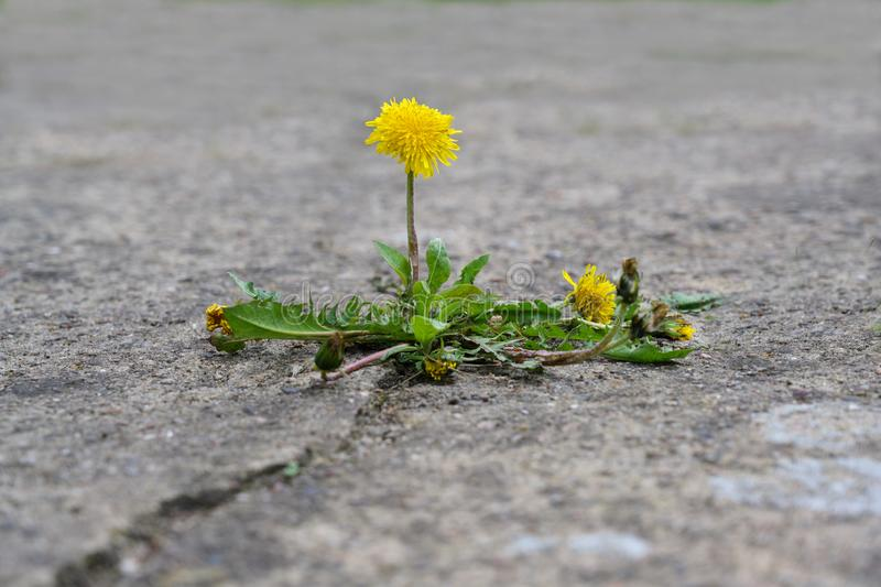 Single dandelion flower breaks its way through the concrete, concept power of nature, copy space royalty free stock photo